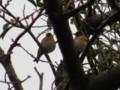 [鳥]アトリ