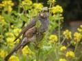 [鳥]菜食中のヒヨドリ