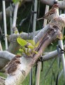 [鳥]スズメの親子