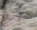 [鳥]キアシシギ