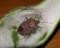 クサギカメムシ