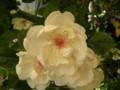 [花][バラ]ジャクリーヌ・デュプレ