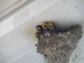 [鳥]ツバメ雛