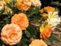 [花][バラ]ゴルデゼ