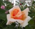[花][バラ]ジャストジョイ