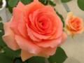 [花][バラ]ブラスバンド