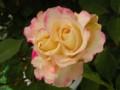 [花][バラ]ダブル デライト