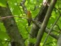 [鳥]キビタキ♂