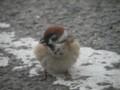 [鳥]ふっくら雀
