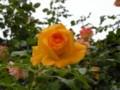 [花][バラ]色変わりのツルバラ