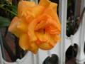[花][バラ]色変わりのツルバラが咲く