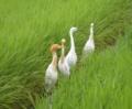 [鳥]アマサギとコサギ