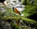 [蜻蛉]ミヤマカワトンボ