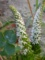 花・ツメレンゲ