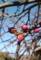 庭のシダレウメ