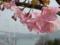 河津桜と来島大橋