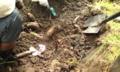 レンコン掘り体験