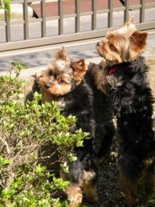 犬・リンとクー