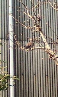 鳥・キジバト