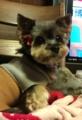 [うちの犬]リン・トリミングしました