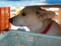 [犬]看板犬さくらちゃん
