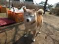 [犬]看板犬さくらちゃん13歳