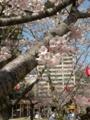 [桜]道後公園花見