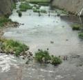 宮前川のコガモ