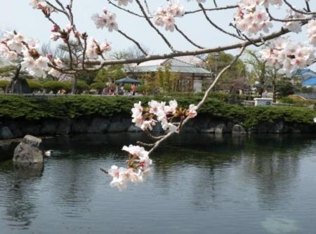 ゆうゆう祭り・杖の渕公園の池と桜