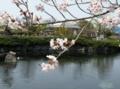 [桜]ゆうゆう祭り・杖の渕公園の池と桜
