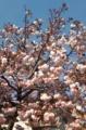 [桜]ボタンザクラ7日目
