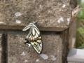 [蝶]アゲハチョウ