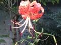[花]オニユリ