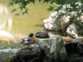 [鳥]アイガモ?