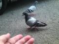 [鳥]ドバト
