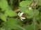 ヒヨドリジョウゴ