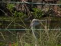 [鳥]アオサギ