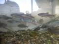 [魚]川の魚
