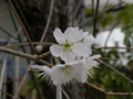 [桜]サクラ(さくらんぼ)