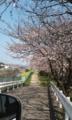 [桜]桜の道