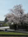 [桜]桜のある景色