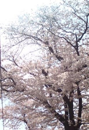 常明院の桜
