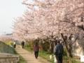 [桜]宮前川の散歩道