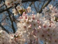 [桜]ソメイヨシノ