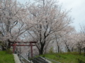 [桜]お宮の桜