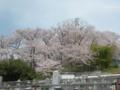 [桜]霊園と桜