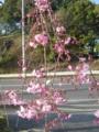 [桜]シダレザクラ