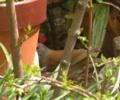 [鳥]庭にシロハラ