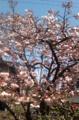 [桜]八分咲