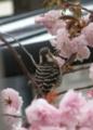 [鳥]コゲラ